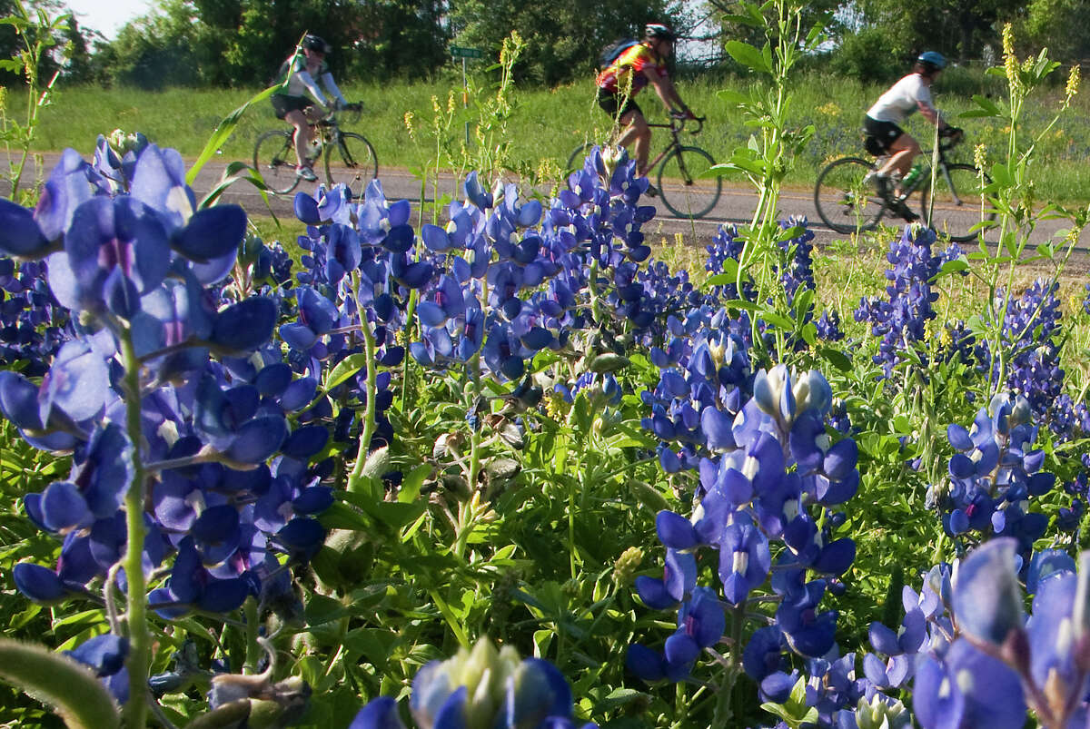 Cyclists pass a patch of bluebonnets off of FM 529 during the Bluebonnet Express bike ride on Sunday, March 25, 2012.