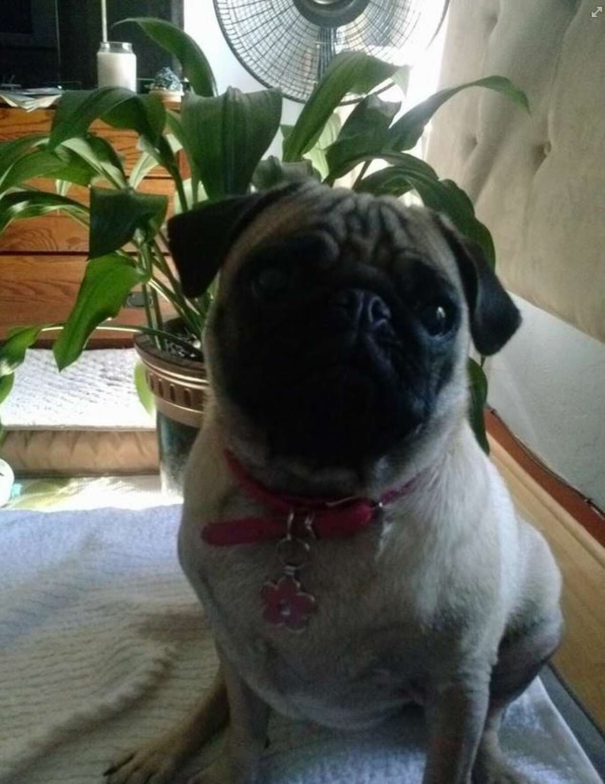 Mei Fun, a 2-year-old pug, died after she was kicked by a jogger in Kensington on Saturday.