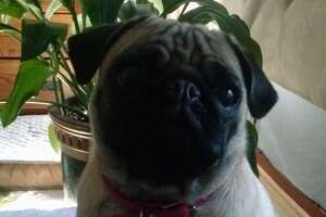 East Bay jogger kills 15-pound pug with a kick - Photo