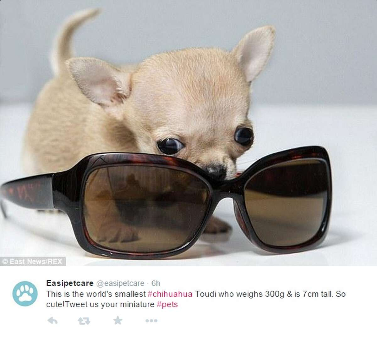 Meet Toudi, a Chihuahua from Poland, who could be the smallest dog in the world, weighing in at 300 grams and standing 7-centimeters tall. Read more: Pear-sized Chihuahua could be smallest dog ever