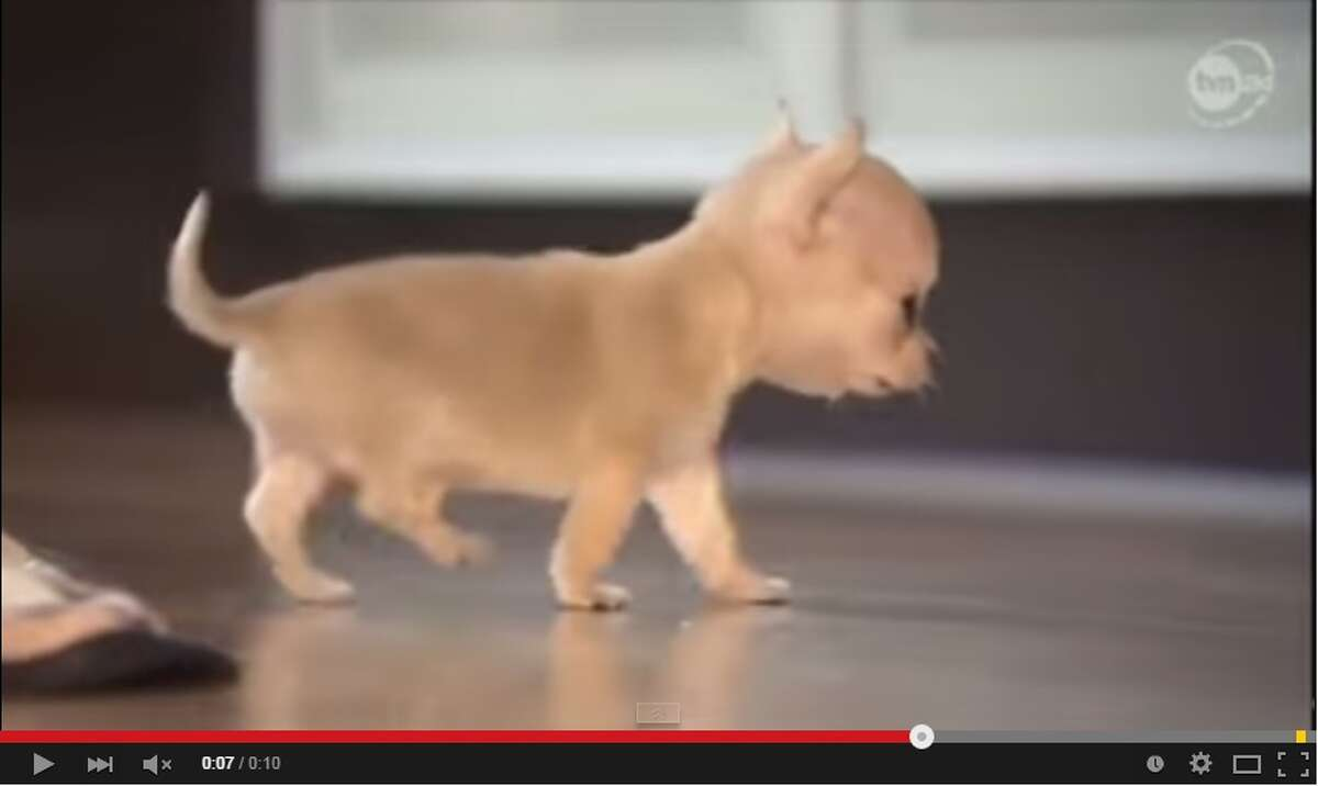 This screenshot from YouTube shows Toudi, a Chihuahua from Poland, who could be the smallest dog in the world, weighing in at 300 grams and standing 7-centimeters tall. At 12-weeks old, the pooch is smaller than a can of soda and fits in the palm of a hand.