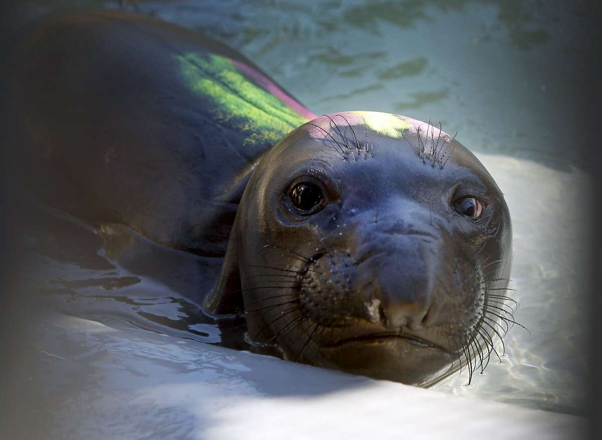 A Northern elephant seal is nursed back to health at the Marine Mammal Center in Sausalito, Calif. on Thursday, March 26, 2015. With the number of marine mammals currently being treated at 234, the center is seeing an unusually high number of sea lion pups and elephant seals this year as it celebrates its 40th anniversary.