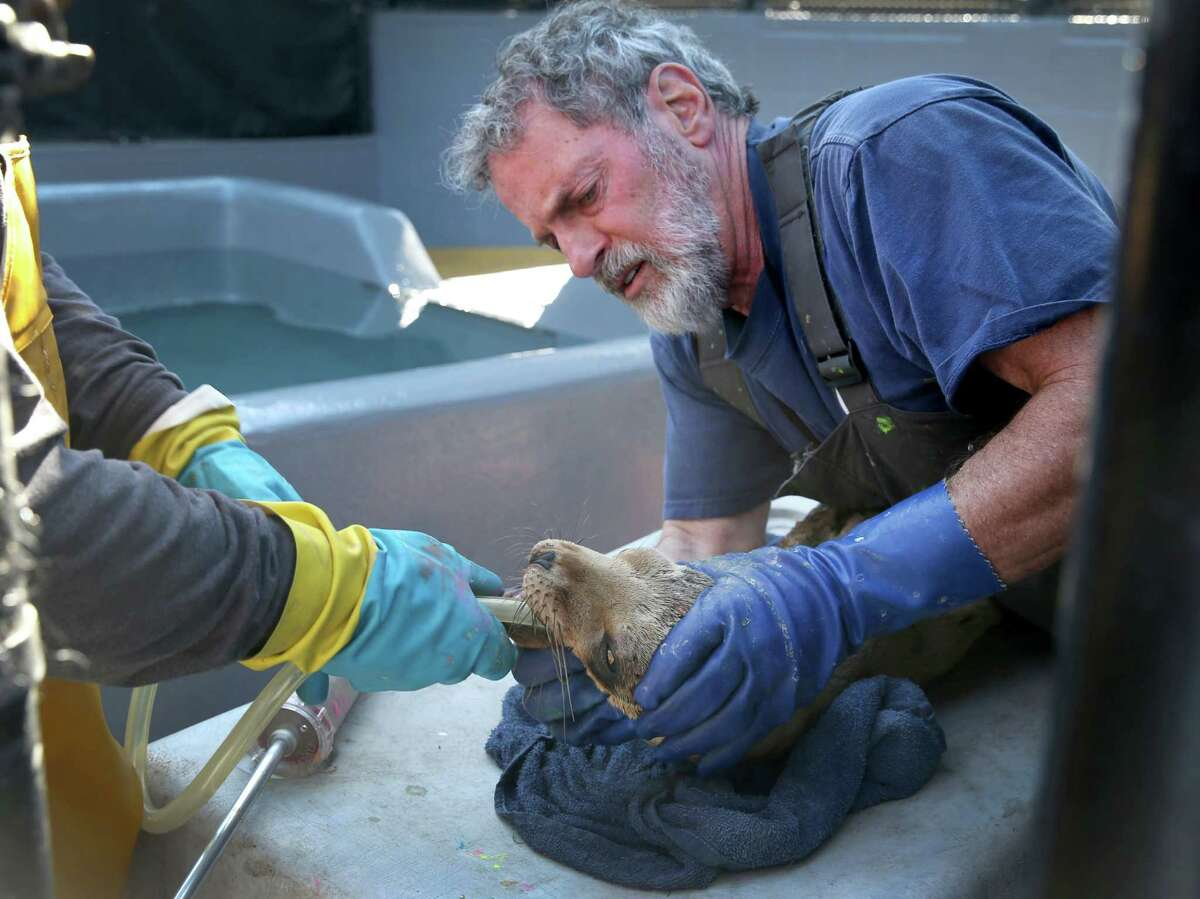 Mark Sanders, right, holds a sea lion pup while it's fed by Pete Taylor at a Sausalito sanctuary. Starving sea lions have been washing up on state beaches because of a lack of sardines and anchovies for pups to eat.