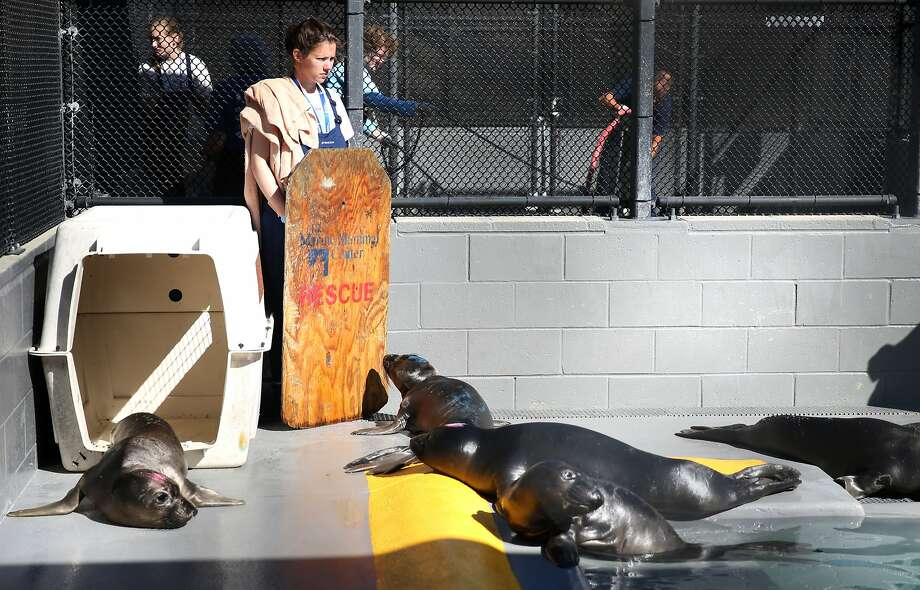 A volunteer works inside a pen where Northern elephant seals are treated at the Marine Mammal Center in Sausalito, Calif. on Thursday, March 26, 2015. With the number of marine mammals currently being treated at 234, the center is seeing an unusually high number of sea lion pups and elephant seals this year as it celebrates its 40th anniversary. Photo: Paul Chinn, The Chronicle