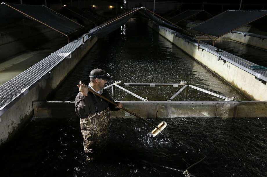 John Silva crowds Chinook salmon smolts towards the pick-up tube while loading them onto a large truck for transport down river to Rio Vista as part of the second year of a special contingency plan to keep the salmon alive from around the Central Valley through the drought March 26, 2015 at the Coleman National Fish Hatchery in Anderson, Calif. On Wednesday, the trucking began, kicking off a two-month effort that will eventually transport 12 million Chinook salmon via trucks down river to ensure their migration into the ocean despite dropping water levels due to the drought. Photo: Leah Millis, The Chronicle