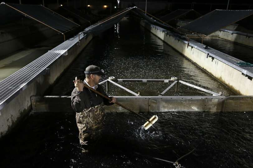 John Silva crowds Chinook salmon smolts towards the pick-up tube while loading them onto a large tru