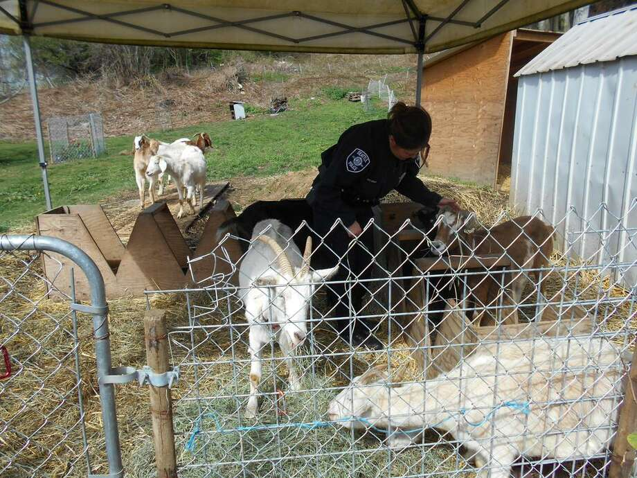 Police were called to Rainier View Thursday to corral these loose goats back to their home. Photo: SEATTLE POLICE DEPARTMENT