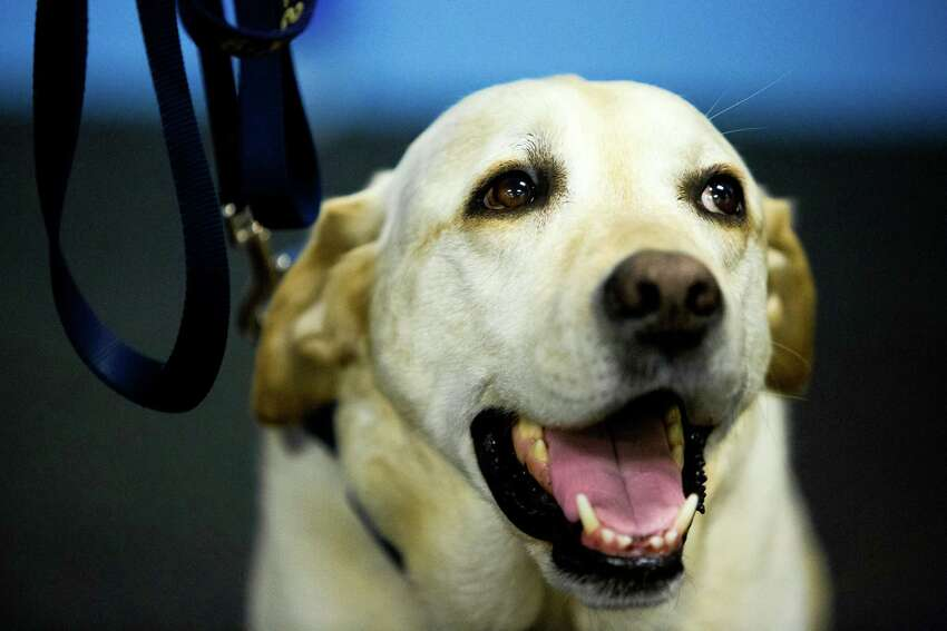 Dennis, a 6-year bomb-sniffing veteran member of the Seattle Police Department, enters into retirement from his place at the side of faithful handler, K-9 officer Craig Williamson. Dennis, the yellow Labrador Retriever, was recently diagnosed with terminal cancer, and is expected to live another six to 12 months.