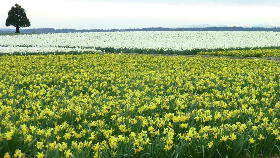 Daffodil fields in yellow across the street from the Roozengaarde show garden. Photo: Pam Mandel / Special To The Chronicle / ONLINE_YES