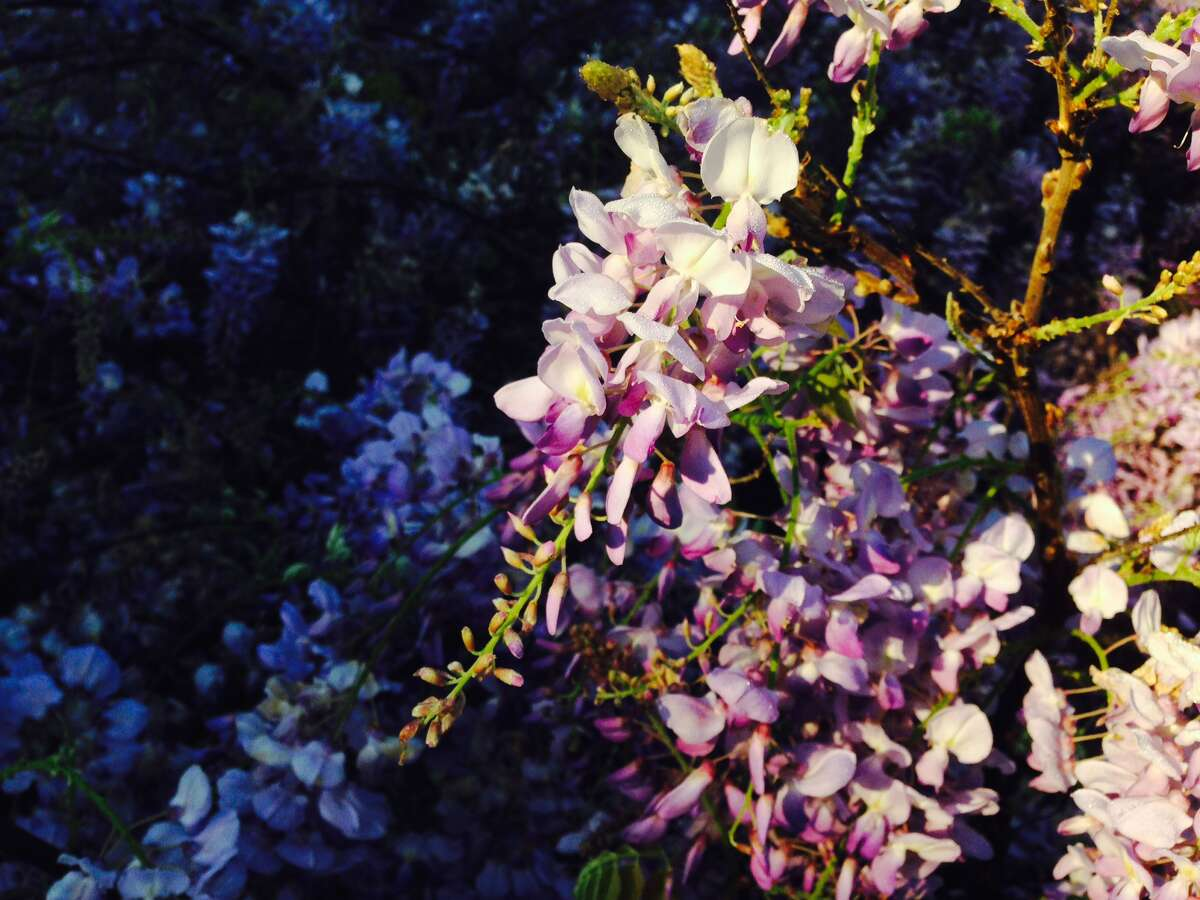 Wisteria blooms are colorful and fragrant.