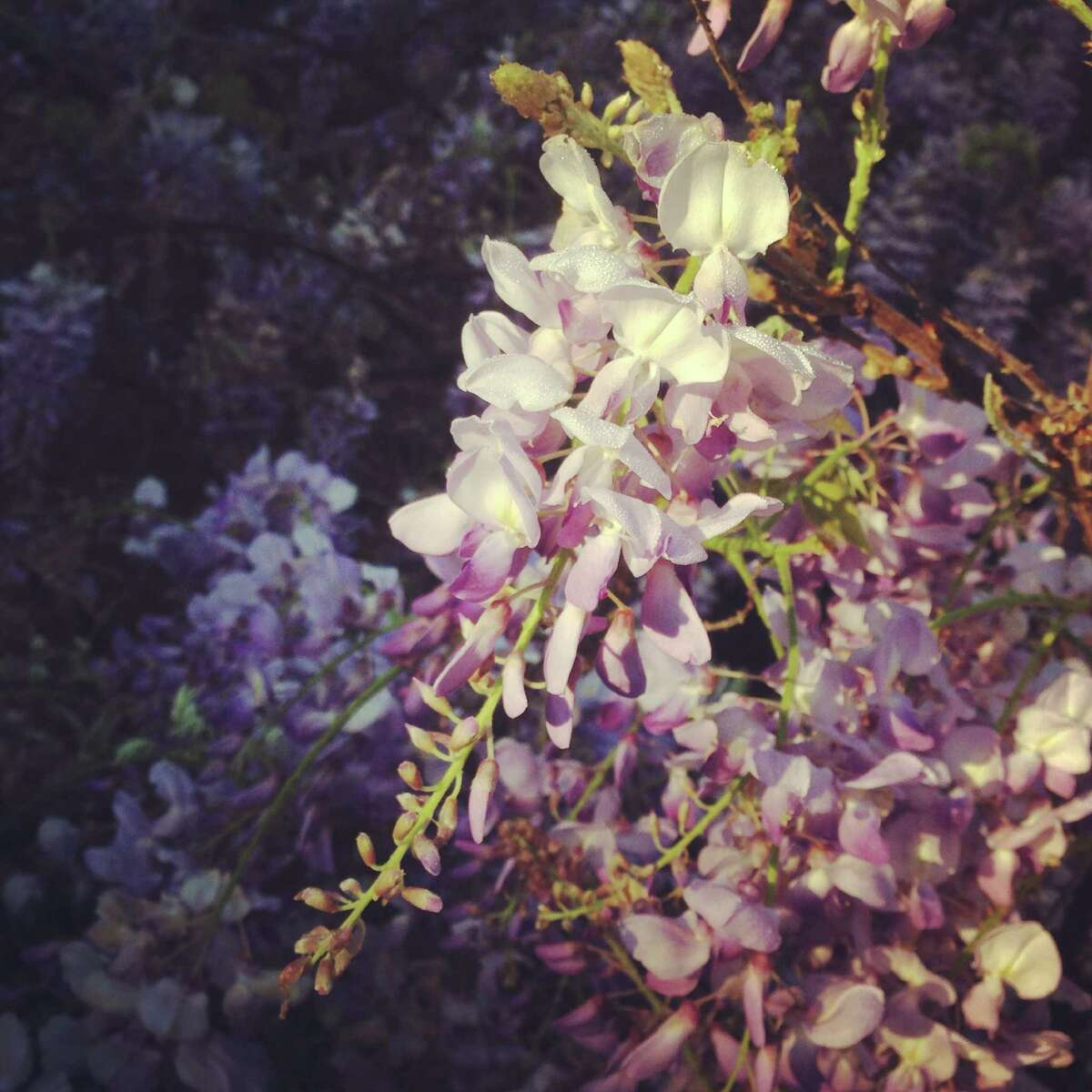 Wisteria growing in Bellaire, Texas
