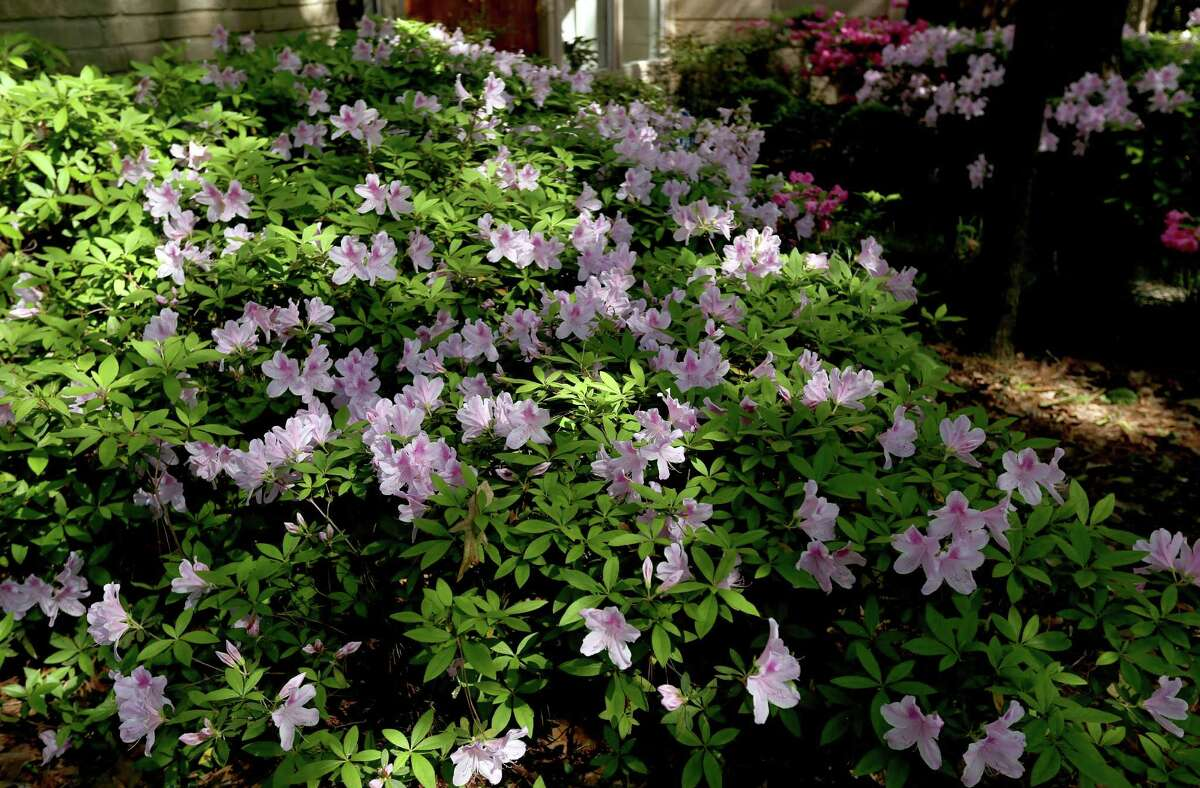 Pale pink azaleas grow in the front yard of John and Kathy Bernhardt's home in Spring, Texas. ( Gary Coronado / Houston Chronicle )