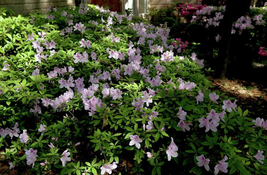 Pale pink azaleas grow in the front yard of John and Kathy Bernhardt's home in Spring, Texas. ( Gary Coronado / Houston Chronicle ) Photo: Gary Coronado, Staff / © 2015 Houston Chronicle