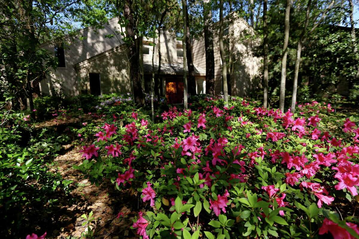 The azalea blooms in the front yard of John and Kathy Bernhardt's home in Spring last for about three weeks.