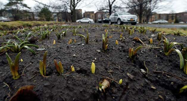 The plants are peaking through the dirt in the beds in Washington Park Friday morning March 27, 2015 in Albany, N.Y.     (Skip Dickstein/Times Union) Photo: SKIP DICKSTEIN