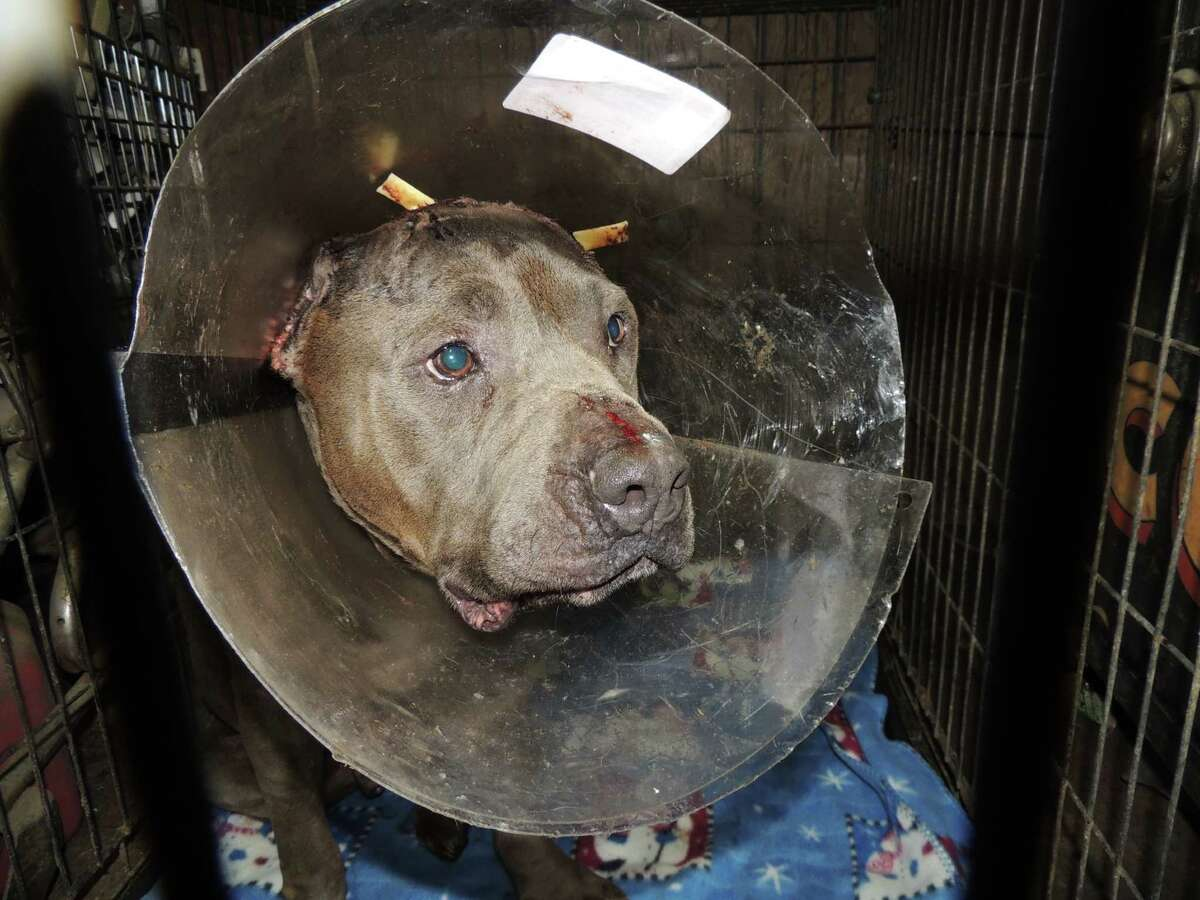 A volunteer with Barrio Dogs found Hotch near the intersection of Lawndale and Broadway in East Houston on March 18.
