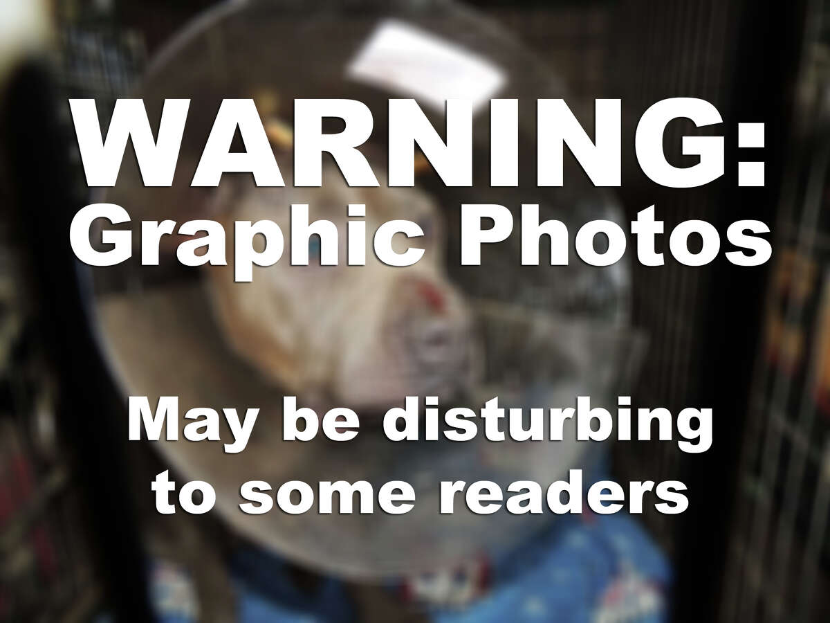 The following photos show an abused animal and may be upsetting to some readers.