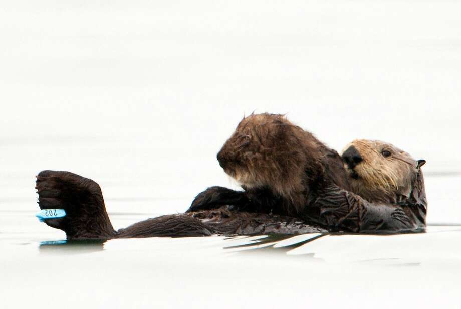 In this photo taken by the U.S. Geological Survey and provided by the California Department of Fish and Game, a sea otter holds her pup at Seacliff State Beach near Aptos, Calif., on, Sept. 10, 2012 file photo. The sea otter, known as Olive, has amazed researchers by becoming the first sea otter not only to survive a dunking in oil but then also go on to deliver a healthy pup. The sea otter that became an ambassador for her species after a remarkable recovery from an oil tar soaking off the coast of Northern California has been killed by a shark. The California Department of Fish and Wildlife says Olive was found dead by a beachgoer on Sunday March 22, 2015. Photo: Joe Tomoleoni, Associated Press