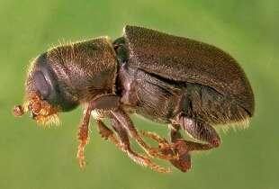 An adult western pine beetle (Dendroctonus brevicomis).