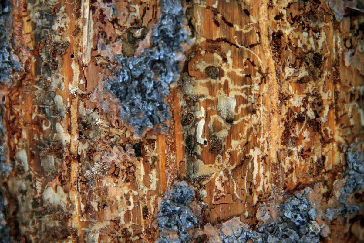 The paths carved by adult and larvae bark beetles (called galleries) can be seen after the bark is shaved off an affected pine tree March 27, 2015 in Norden, Calif. Pine trees across the state have been dying off by the thousands due to pine beetles that take advantage of their drought-stressed bodies. The small groupings and vast swaths of dead trees create an especially dangerous fire hazard in already parched conditions. The worst-hit area is in Southern California but the beetles and subsequent pine tree deaths are creeping North, with experts warning that the situation is on track to worsen.