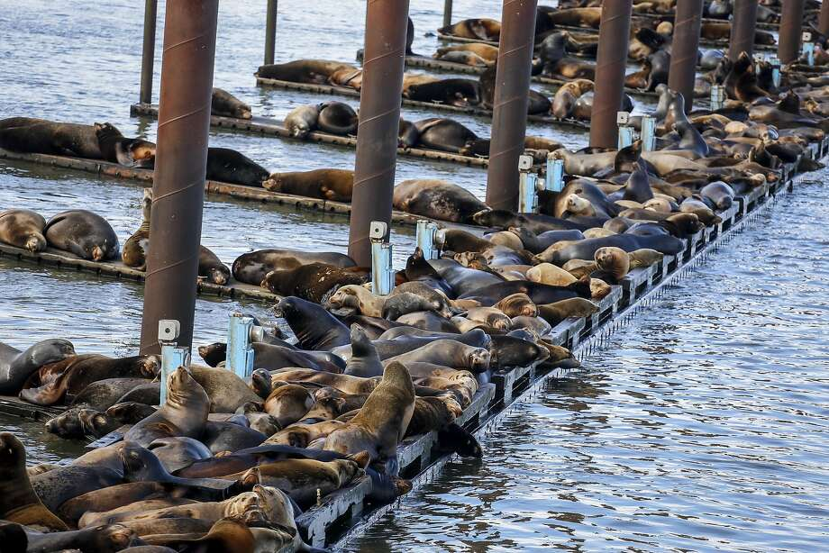 In this March 24, 2015, photo, California sea lions and harbor seals rest on the docks of the East End Mooring Basin in Astoria, Ore. During a Feb. 11 aerial survey, the Washington Department of Fish and Wildlife counted more than 1,200 California sea lions at the East End Mooring Basin, along with nearly 600 Steller and California sea lions on the South Jetty. On Friday March 20, spokeswoman Jessica Sall of the Oregon Department of Fish and Wildlife said, her agency counted 2,340 California sea lions at the East End Mooring Basin. (AP Photo/Daily Astorian, Joshua Bessex) Photo: Joshua Bessex, Associated Press