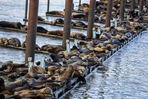 In this March 24, 2015, photo, California sea lions and harbor seals rest on the docks of the East End Mooring Basin in Astoria, Ore. During a Feb. 11 aerial survey, the Washington Department of Fish and Wildlife counted more than 1,200 California sea lions at the East End Mooring Basin, along with nearly 600 Steller and California sea lions on the South Jetty. On Friday March 20, spokeswoman Jessica Sall of the Oregon Department of Fish and Wildlife said, her agency counted 2,340 California sea lions at the East End Mooring Basin. (AP Photo/Daily Astorian, Joshua Bessex)