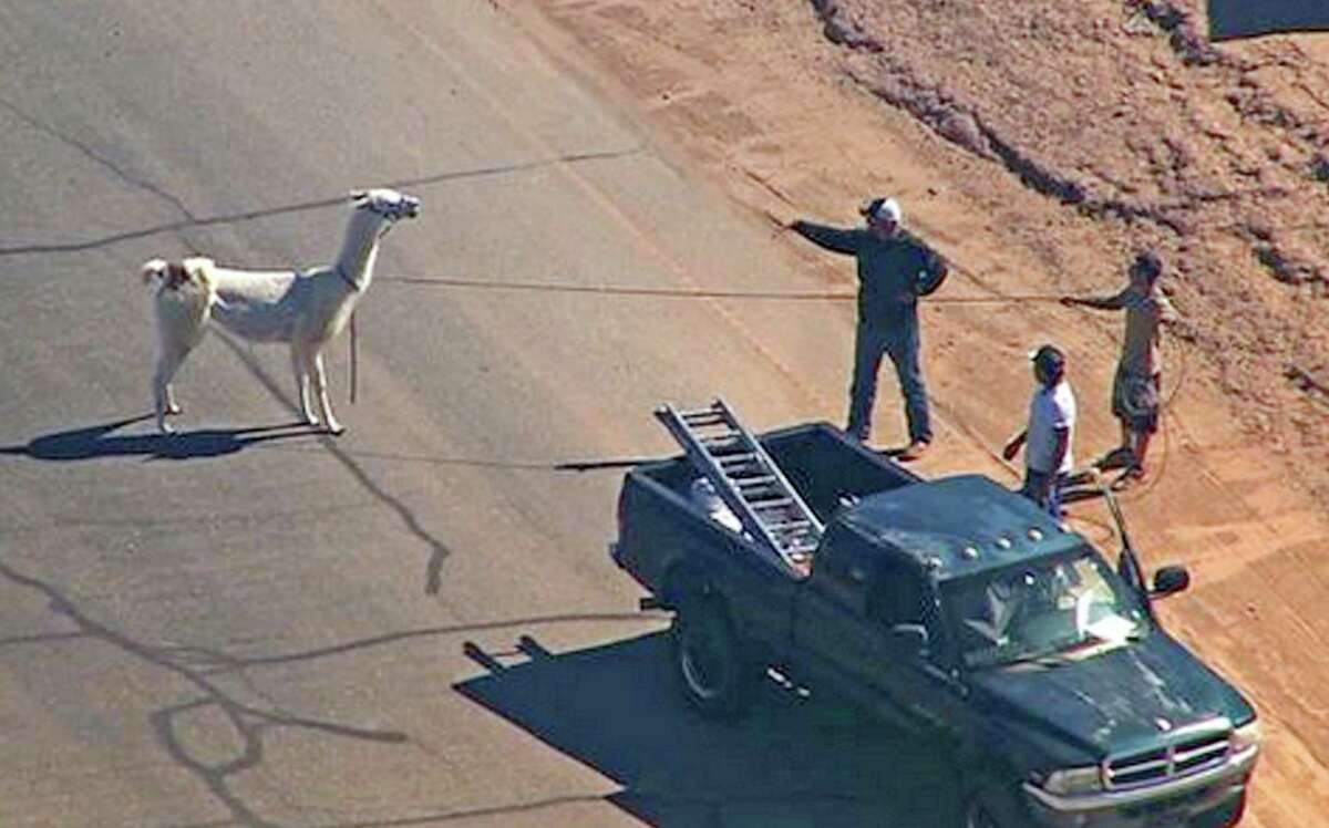 FILE - In this image taken from video and provided by abc15.com on Feb. 26, 2015, men lasso one of two quick-footed llamas after they dashed in and out of traffic before they were captured in Sun City, Ariz. The llamas that became a social media sensation running around the Phoenix suburb last month are saying goodbye to the spotlight. Owners Bub Bullis and Karen Freund say Kahkneeta and Laney, whose televised dash mesmerized the Internet and Sun City residents, will likely be making their last public appearance Saturday, March 28 at a Phoenix race track. MANDATORY CREDIT.