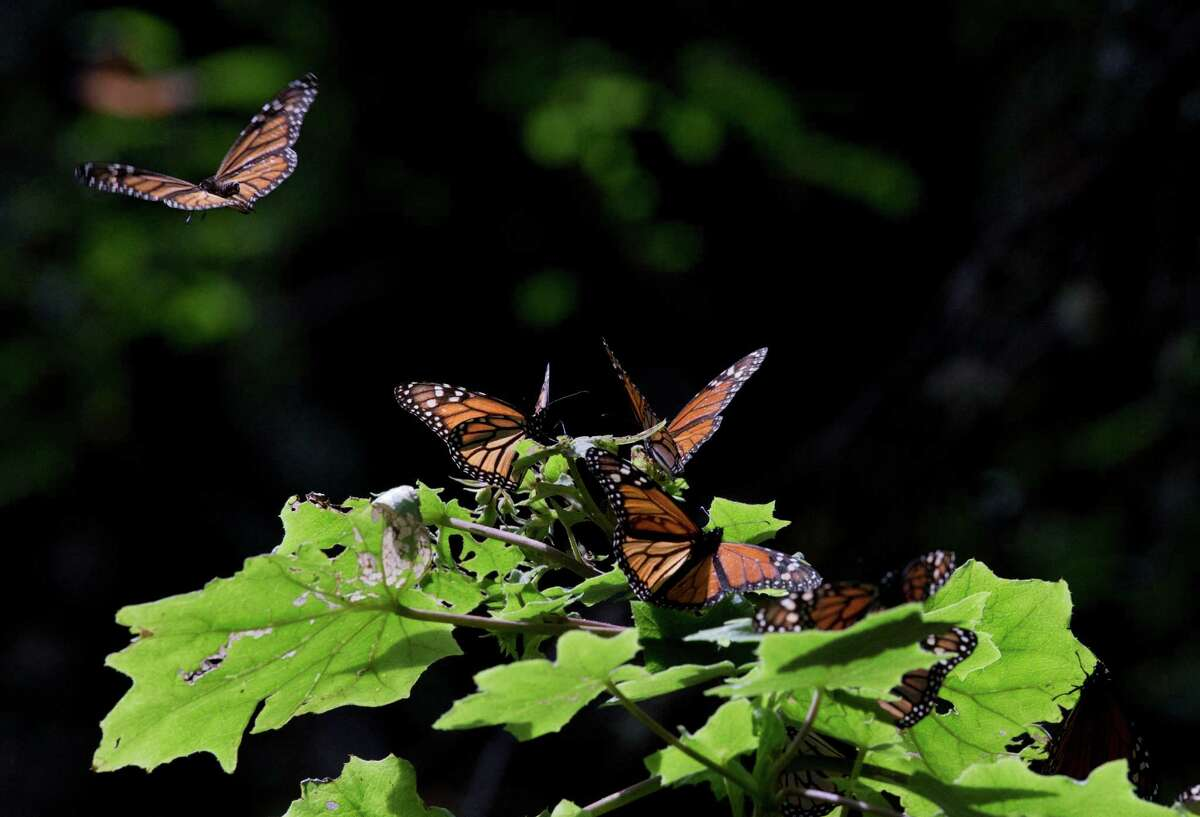 In this Jan. 4, 2015 photo, a Monarch butterfly takes flight from a plant leaf, in the Piedra Herrada sanctuary, near Valle de Bravo, Mexico. The population of the butterfly, that migrates thousands of miles each year from winter nesting grounds in Mexico, has been shrinking partly because farmers are growing more herbicide-resistant crops that have stripped millions of acres of milkweed they depend on to nourish them along their route. (AP Photo/Rebecca Blackwell)
