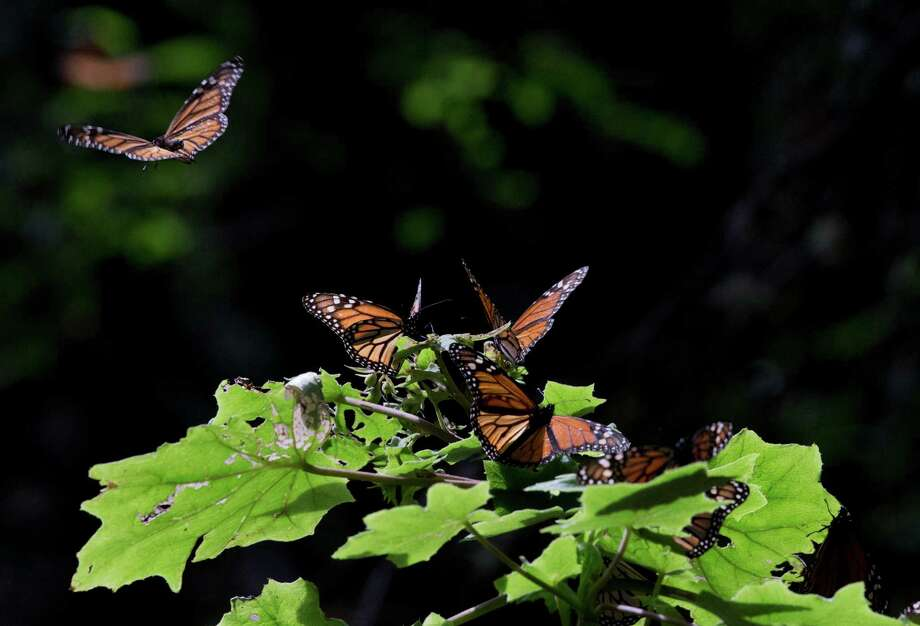 In this Jan. 4, 2015 photo, a Monarch butterfly takes flight from a plant leaf, in the Piedra Herrada sanctuary, near Valle de Bravo, Mexico. The population of the butterfly, that migrates thousands of miles each year from winter nesting grounds in Mexico, has been shrinking partly because farmers are growing more herbicide-resistant crops that have stripped millions of acres of milkweed they depend on to nourish them along their route. (AP Photo/Rebecca Blackwell) Photo: Rebecca Blackwell, STF / Associated Press / AP