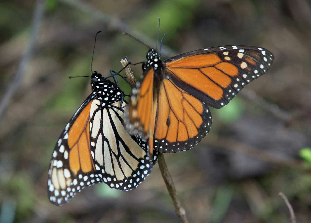 In this Jan. 4, 2015 photo, Monarch butterflies climb up a twig, at the Piedra Herrada sanctuary, near Valle del Bravo, Mexico. The population of the butterfly, that migrates thousands of miles each year from winter nesting grounds in Mexico, has been shrinking partly because farmers are growing more herbicide-resistant crops that have stripped millions of acres of milkweed they depend on to nourish them along their route. (AP Photo/Rebecca Blackwell)