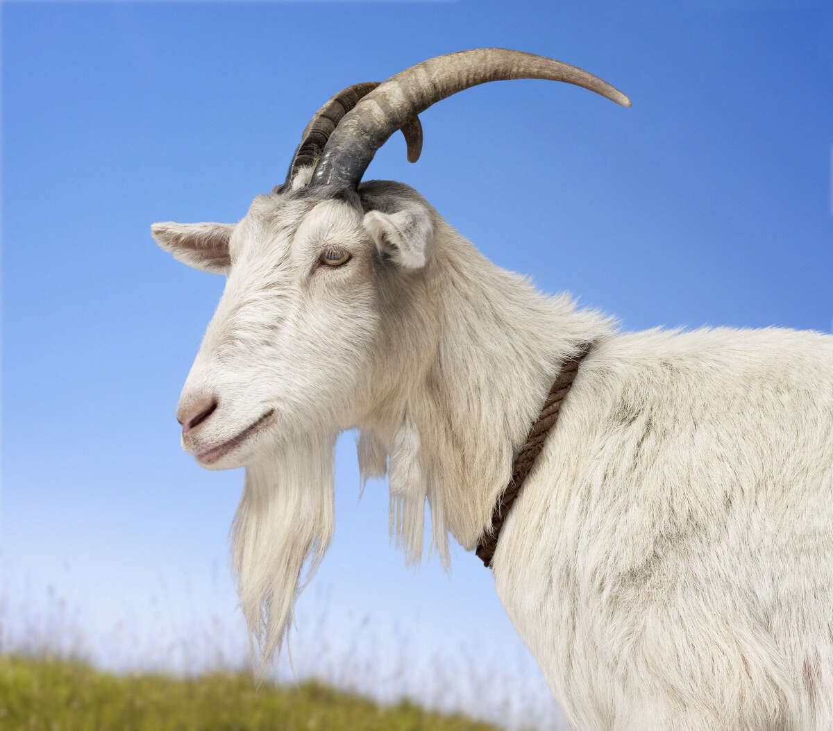 A Florida senate candidate from the state's Libertarian Party has denied accusations from the former party chair that he's dismembered goats as part of his religion. Click to see the gallery for the weirdest, craziest stories out of the Sunshine State.