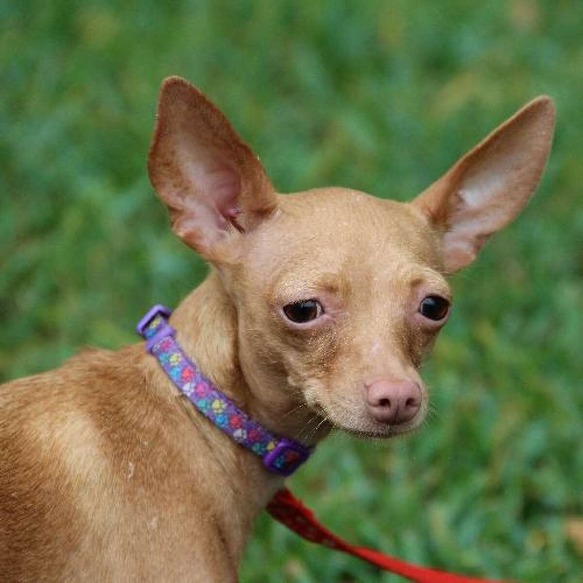 Lucy is a Chihuahua mix, about 2 years old and weighs all of 7 pounds. She's friendly and looking for a permanent home. For information, call the Helotes Humane Society. March 2015