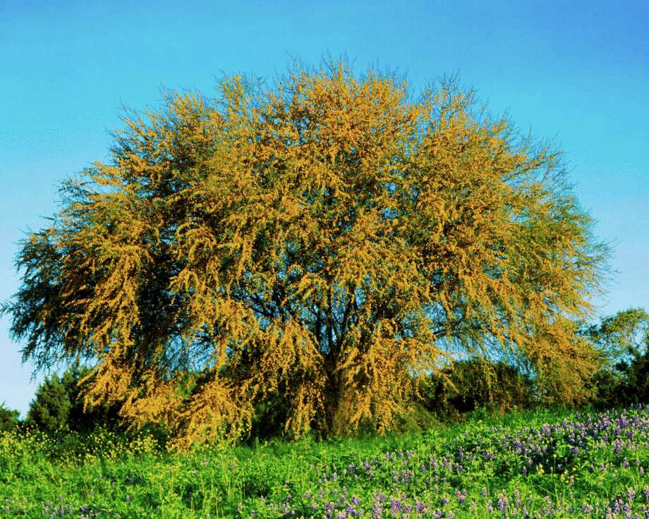 Huisache trees explode in fragrant gold blossoms in spring. Photo: Rolf Nussbaumer /Getty Images