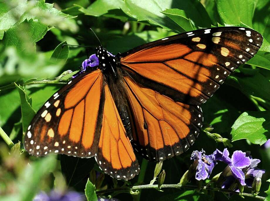A Monarch butterfly feeds on a Duranta flower in Houston. Photo: Pat Sullivan, STF / AP