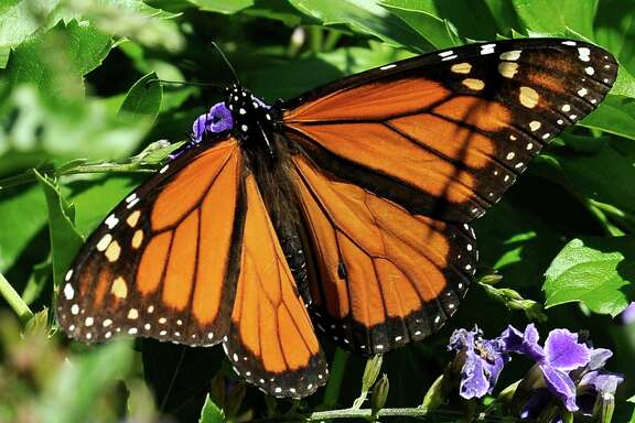 This photo taken Oct. 25, 2014 shows a Monarch butterfly feeding on a Duranta flower in Houston. The federal government pledged $3.2 million on Monday to help save the monarch butterfly, the iconic orange-and-black butterfly that can migrate thousands of miles between the U.S. and Mexico each year. It has experienced a 90 percent decline in population recently. About $2 million will restore more than 200,000 acres of habitat from California to the Corn Belt, including more than 750 schoolyard habitats and pollinator gardens. The rest will be used to start a conservation fund that will provide grants to farmers and other landowners to conserve habitat. (AP Photo/Pat Sullivan)