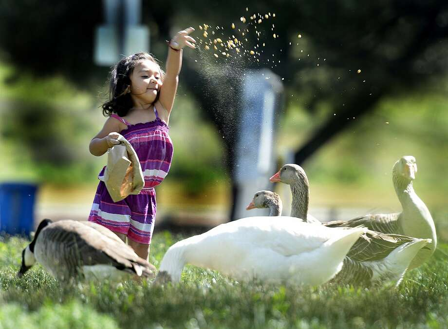 In this file photo, Bella Galvan-Aguliar tosses a handful of feed corn into the air for geese in Lagoon Valley Park in Vacaville, Calif. The Bay Area and Northern California should enjoy a spring heatwave the next few days. Photo: Joel Rosenbaum, Associated Press