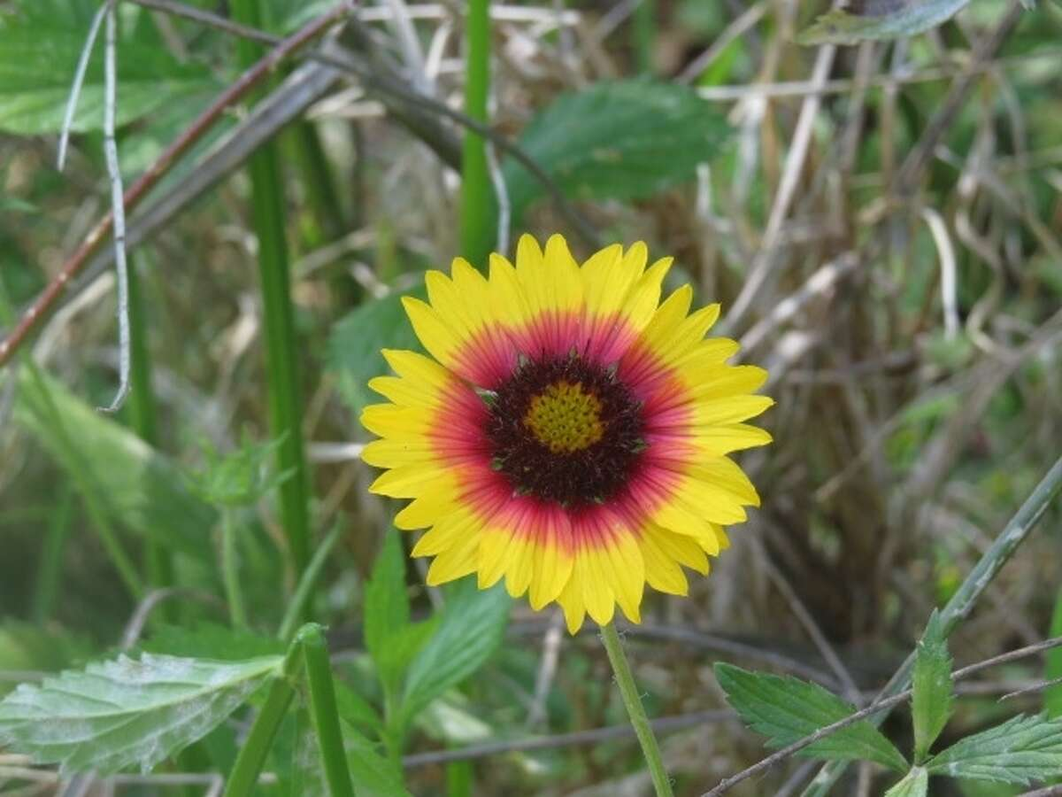 Indian blanket. A beloved Texas wildflower.