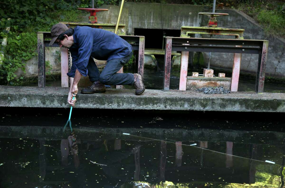 Presidio biologist Jonathan Young drags a net to collect three-spine stickleback fish from a catch basin on Lobos Creek in San Francisco, Calif. on Wednesday, April 1, 2015. The tiny fish will be reintroduced to Mountain Lake later in the afternoon.