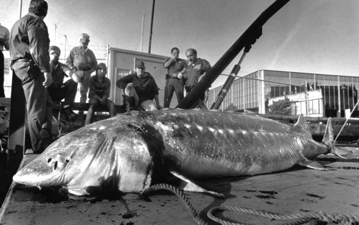 An 11-foot sturgeon, weighing nearly a half-ton, was found dead in Lake Washington, where tales long persisted of a huge, duck-eating