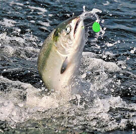 Northwest winds might ruin the salmon opener but should bring a nutrient-rich upwelling and a quality salmon season.