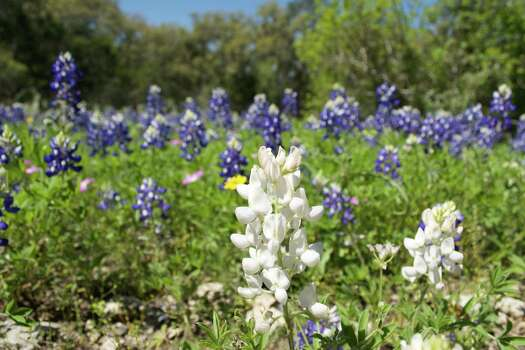 Everything You Need To Know About Bluebonnets In Texas