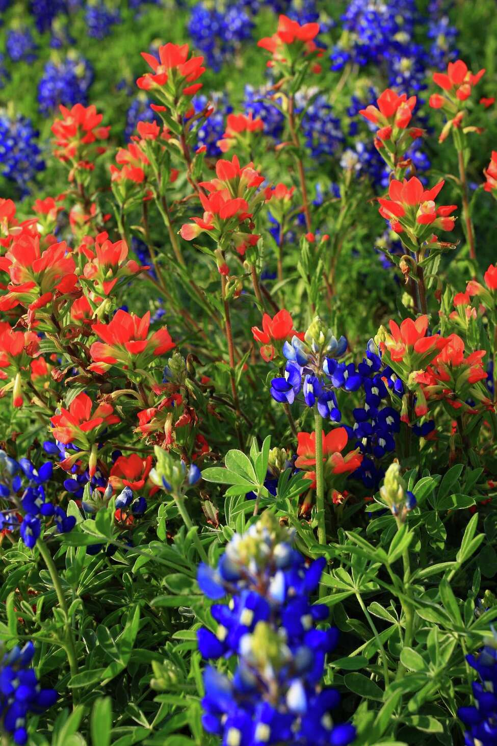 2. There are six different species of bluebonnets  And, they're all a little hard to pronounce if you're not wild about wildflowers: Lupinus subcarnosus, Lupinus texensis, Lupinus havardii, Lupinus concinnus, Lupinus plattensis and Lupinus perennis.