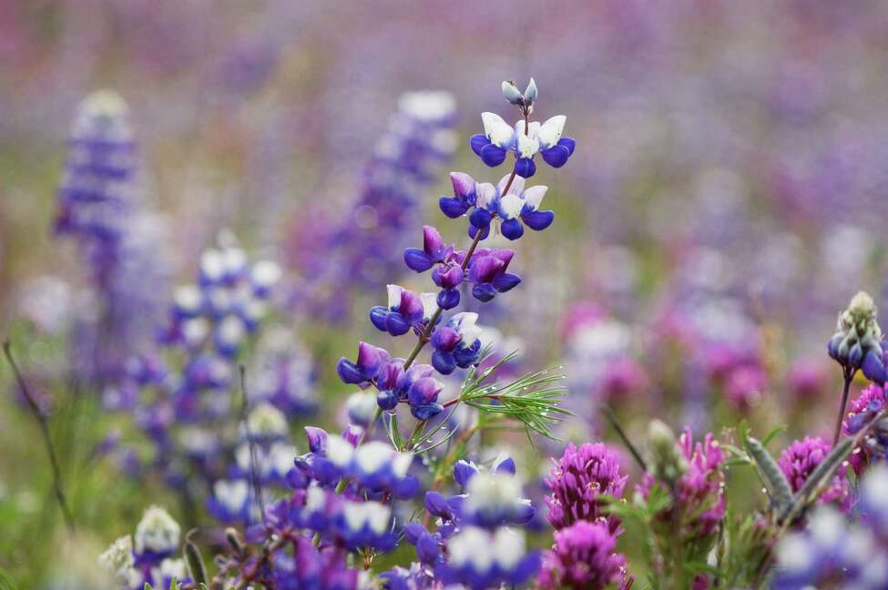 3. Thanks to the Colonial Dames, our state flower isn't lame The National Society of the Colonial Dames of America proposed the idea that the state flower should be the bluebonnet. They even went as far as sending for a painting of a blooming bluebonnet by Austin artist, Miss Mode Walker. When the legislators saw the painting a