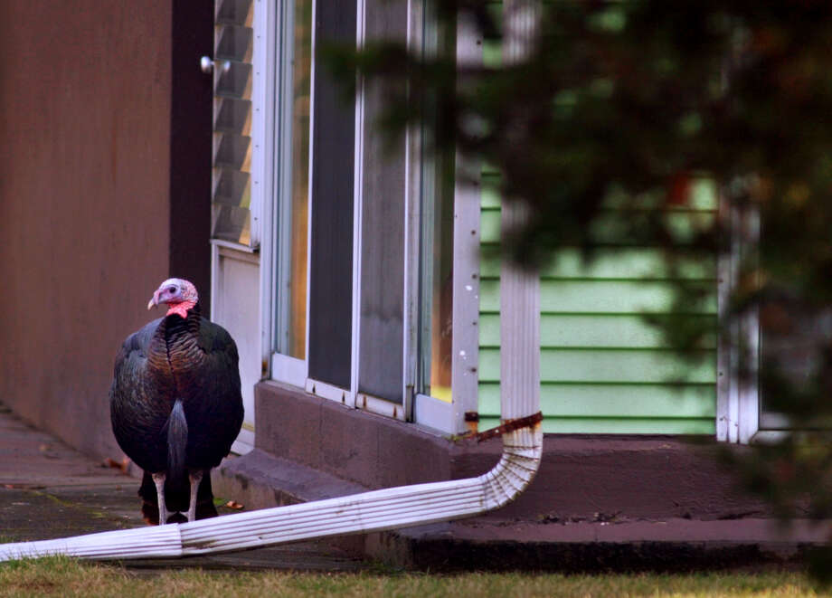 Tom the turkey stands near the rear of a Loughlin Street home in 2003, five years after he began attacking the mail truck. (Times Union archive photo.) ORG XMIT: MER2015033117121591 Photo: PHILIP KAMRASS / ALBANY TIMES UNION