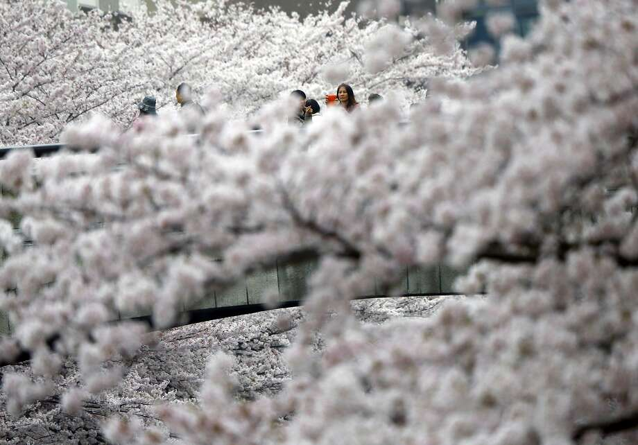 People walk past blooming cherry blossoms in Tokyo, Wednesday, April 1, 2015. (AP Photo/Shizuo Kambayashi) Photo: Shizuo Kambayashi, Associated Press