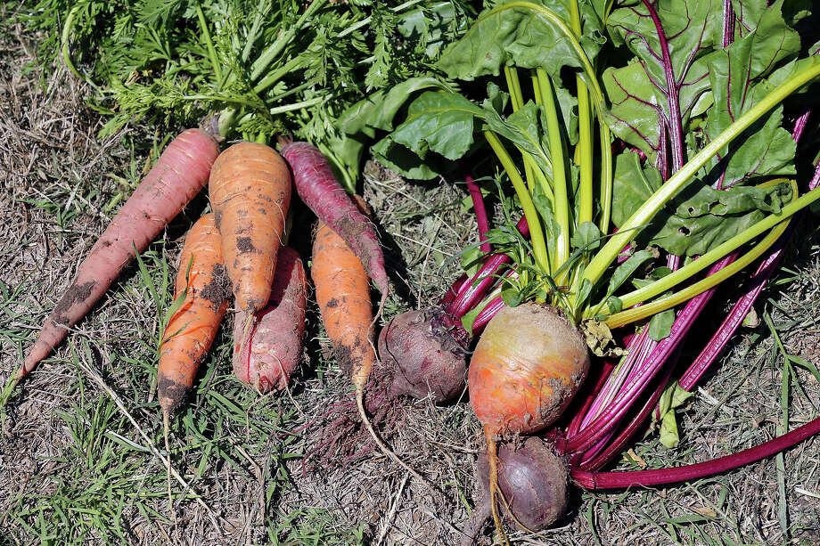 Carrots and beets planted now will be ready for harvest in winter. Both can be grown in containers. Photo: Express-News File Photo / © 2015 San Antonio Express-News