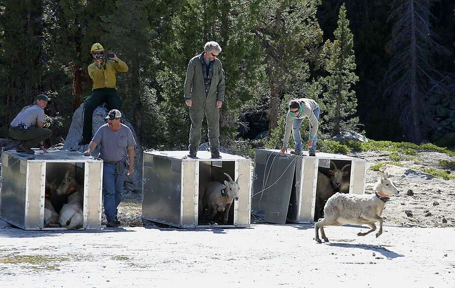 U.S. Fish and Wildlife workers release bighorn sheep, relocated from herds elsewhere, in a remote range of Yosemite in March. Photo: Steve Bumgardner, Yosemite Conservancy