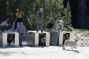 Hopeful sign for bighorn sheep in Yosemite - Photo