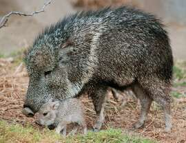 A 4-day-old tagua (Chacoan peccary) explores its grassy habitat with its mother at the San Diego Zoo. May we have one too?