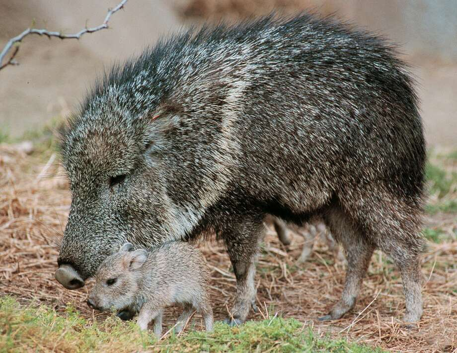 A 4-day-old tagua (Chacoan peccary) explores its grassy habitat with its mother at the San Diego Zoo. May we have one too? Photo: Associated Press / SAN DIEGO ZOO